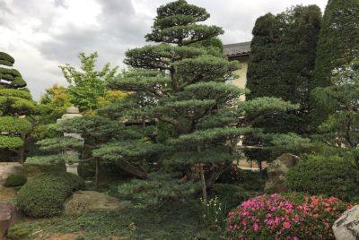 五葉松の老木