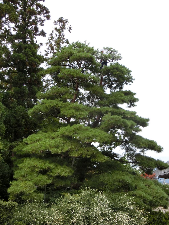 nagano-tyoumeizi-matsu-sentei-jpg
