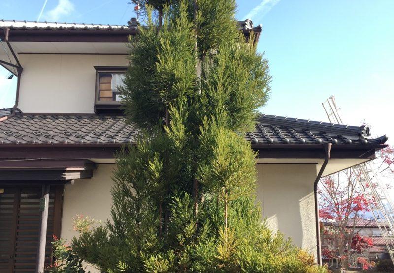 台杉の剪定方法