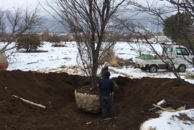 ヤマボウシの掘り取り(動画)