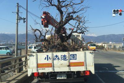 ウメの古木の移植
