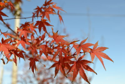 紅葉する植木のお話